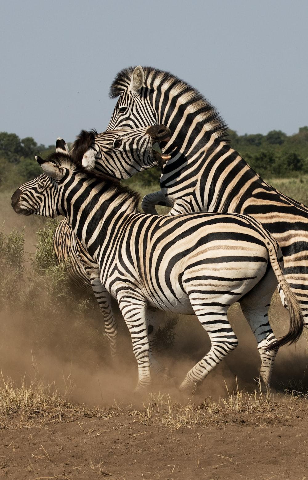 three black-and-white zebras