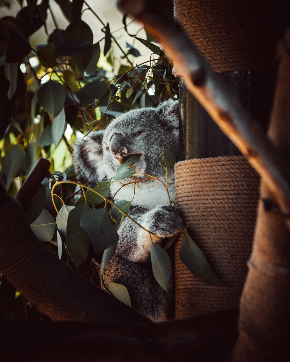 gray and white koala