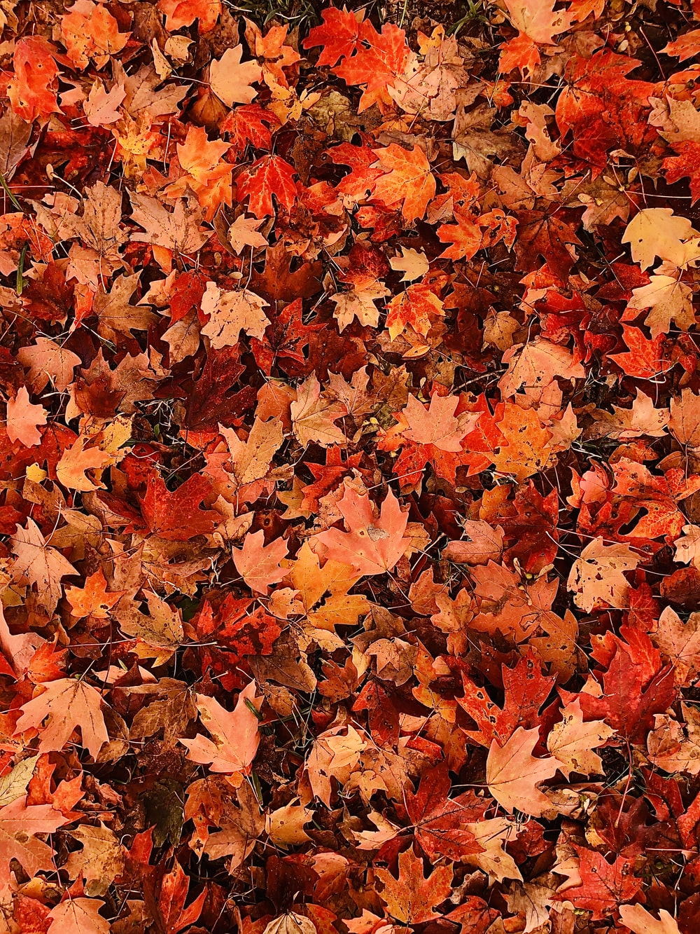 red and orange leaves pile