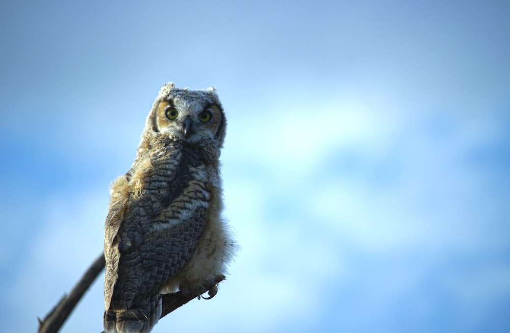 Baby Owl Pictures Download Free Images On Unsplash