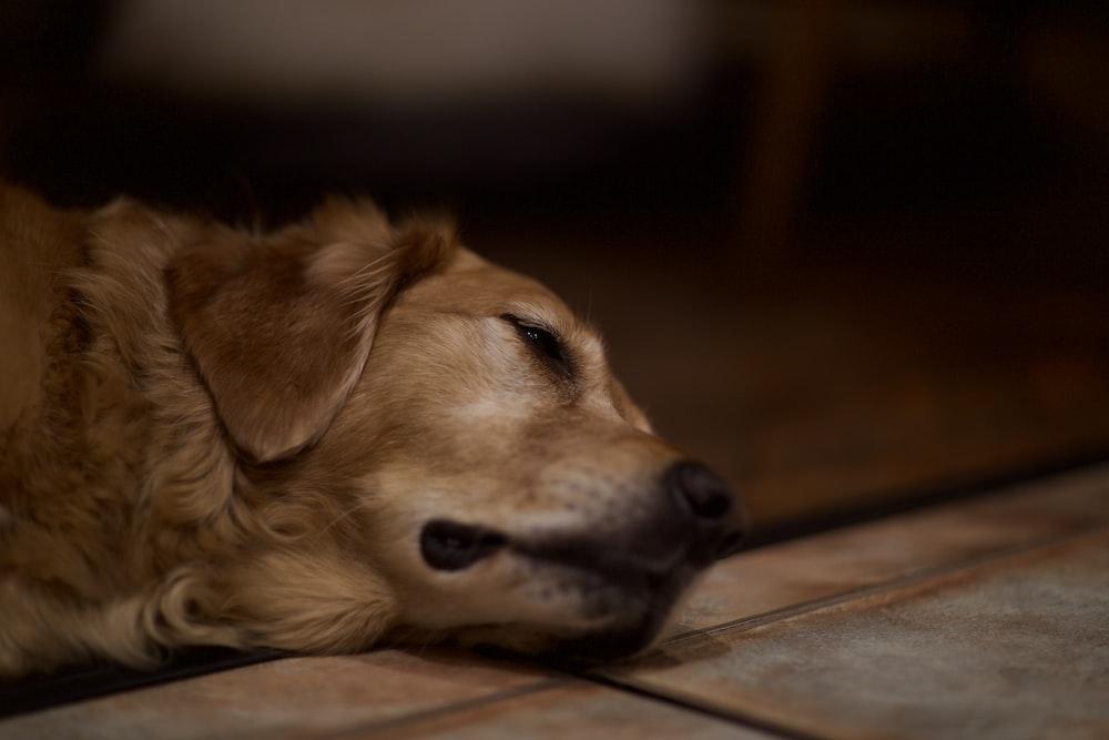 adult golden retriever lying indoors