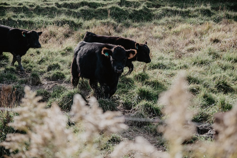 herd of black cattle at the farm