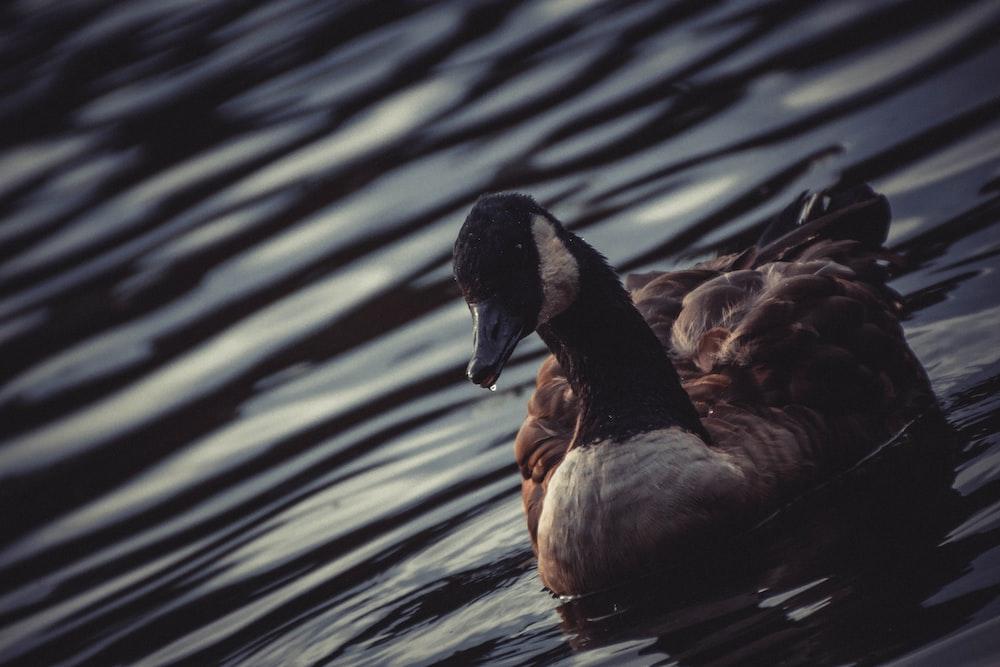 photo of brown and green Mallard duck