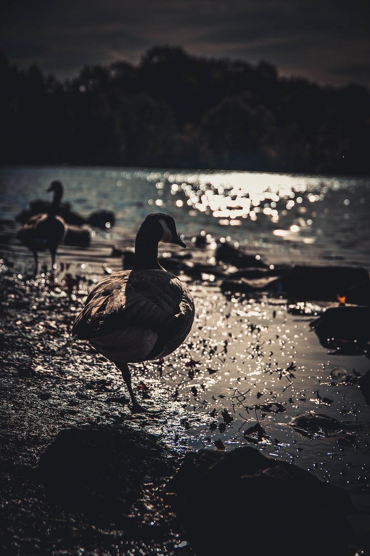 ducks at beach