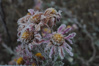 brown and purple-petaled flowers frost teams background