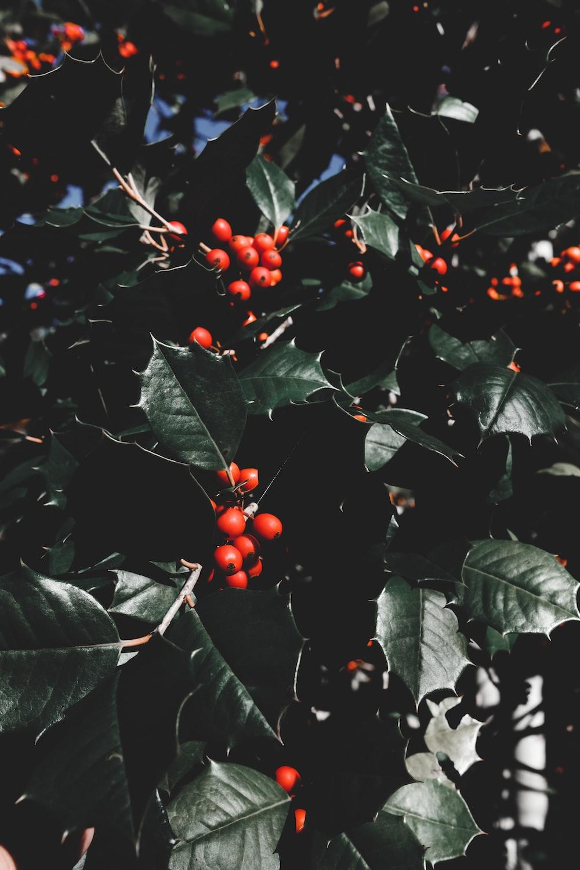 hollyleaf cherry plant