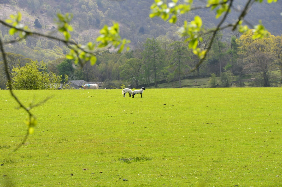 Spring lambs exploring