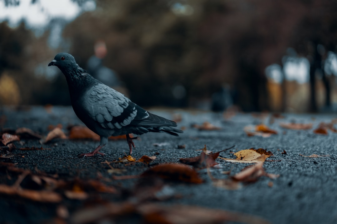 Pigeon among dead leaves