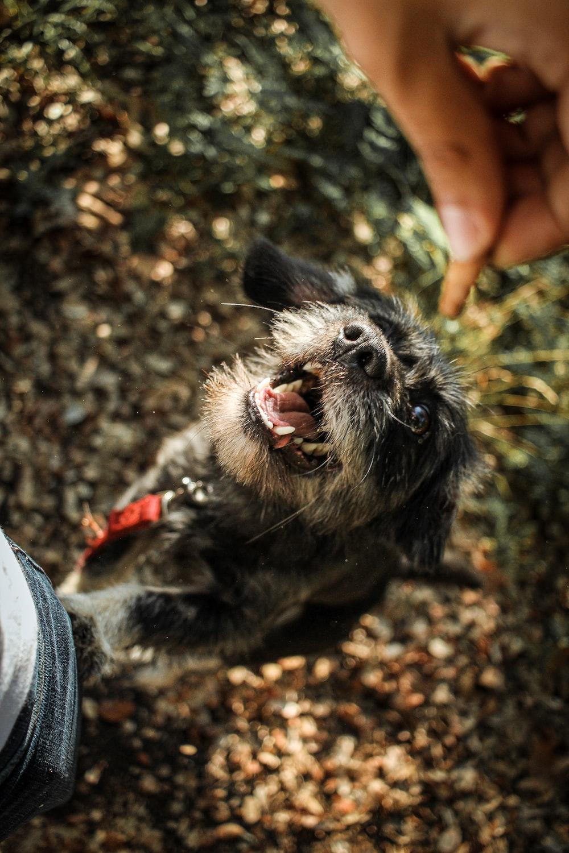 medium-coated black and brown dog