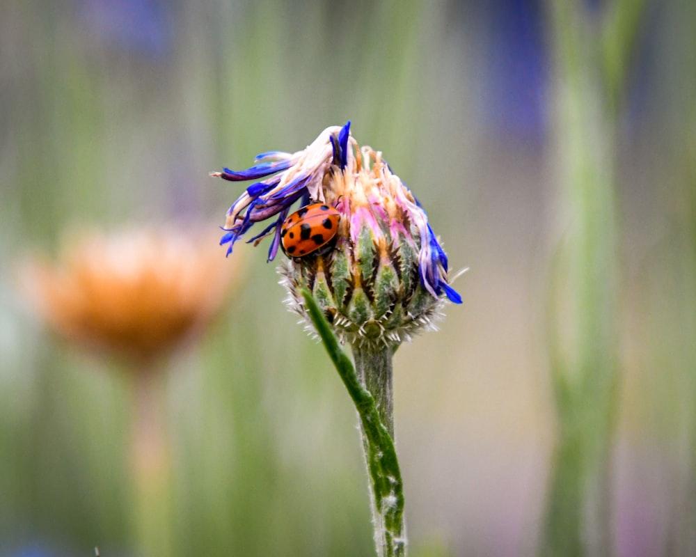 shallow focus photography of orange and black ladybug on orange and blue flower
