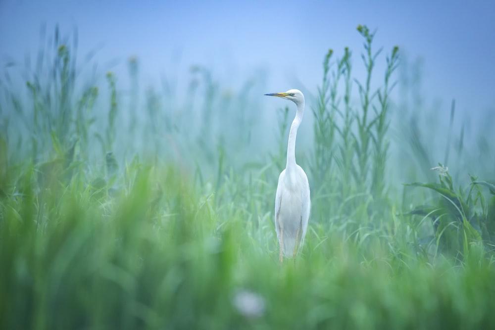 white bird at a green grassy field