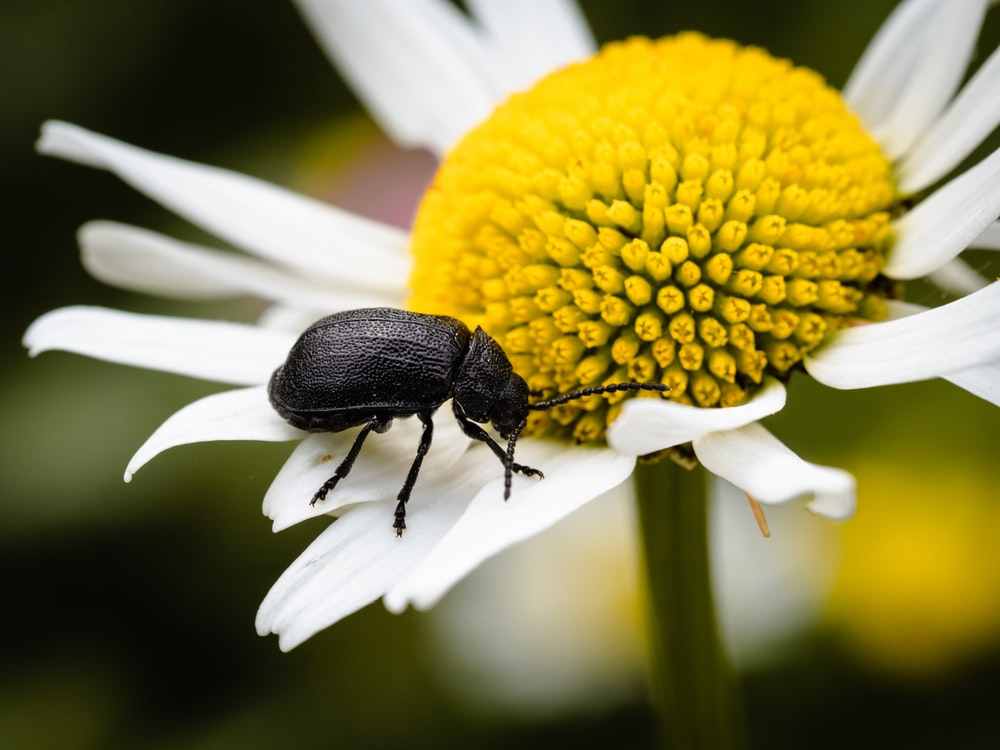 shallow focus photography of black beetle on white and yellow flower