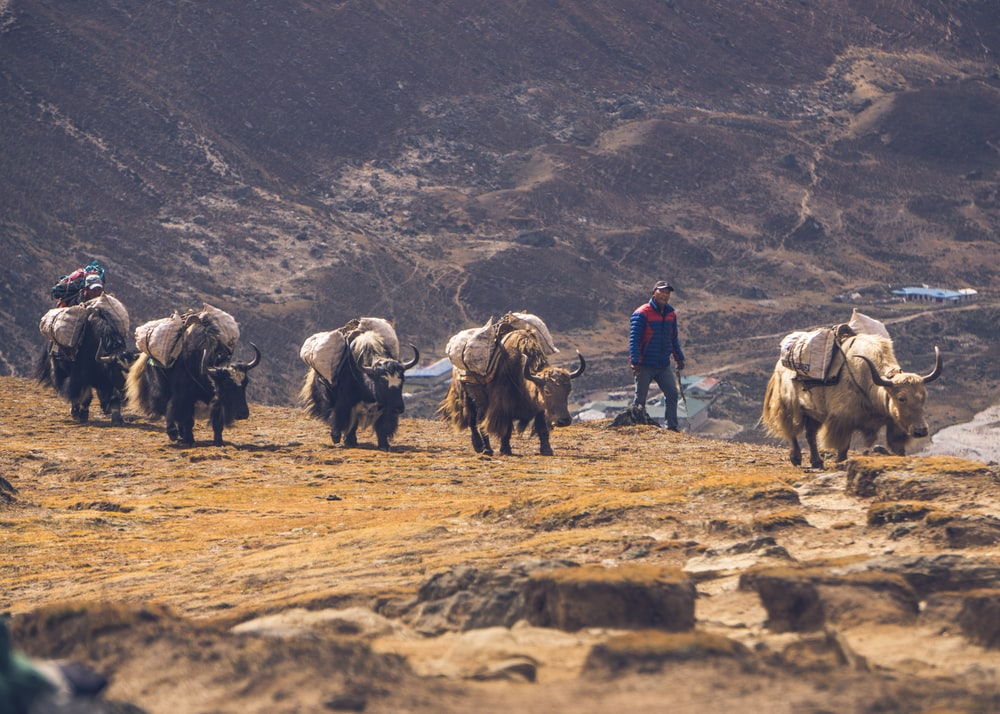 five brown cattles walking