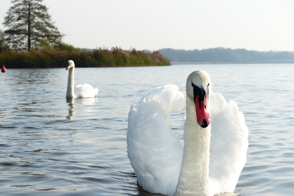 two mute swan on water