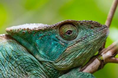 common chameleon madagascar teams background