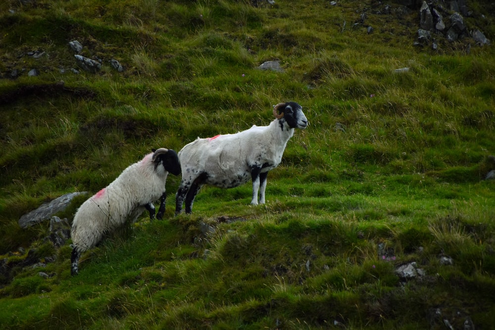 wildlife photography of two white goats during daytime