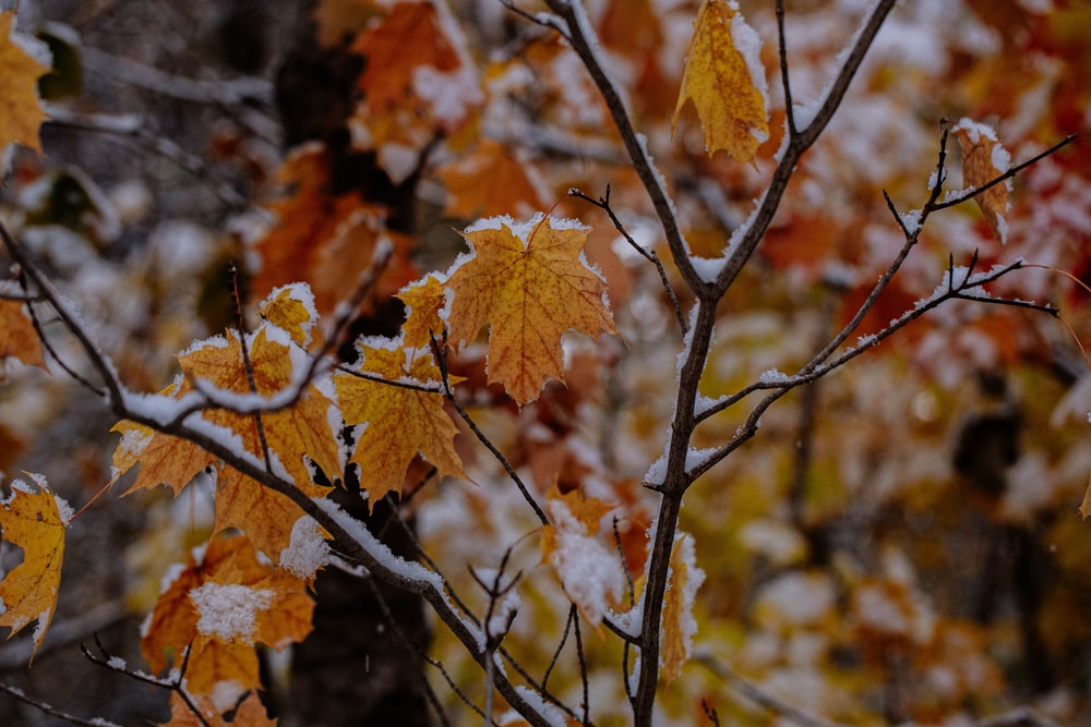 brown maple leaf tree