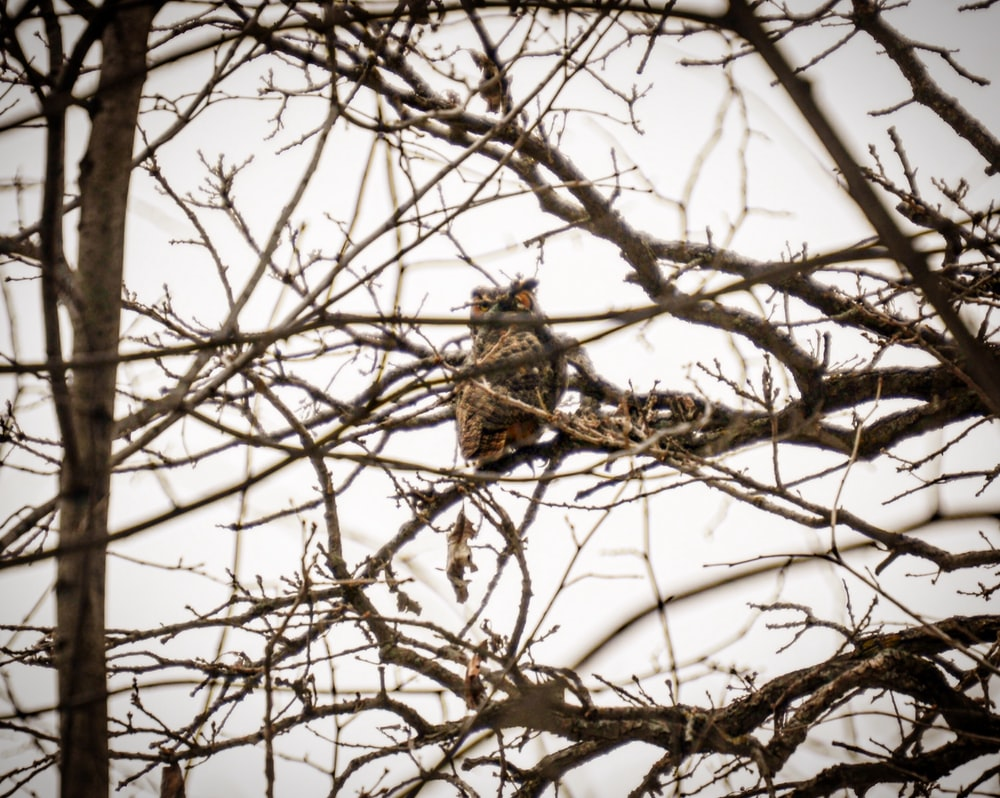 brown owl on withered tree