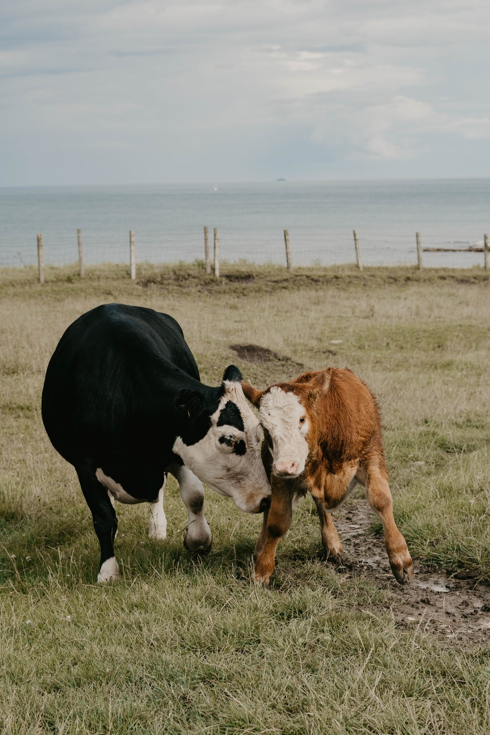 two black and brown cows