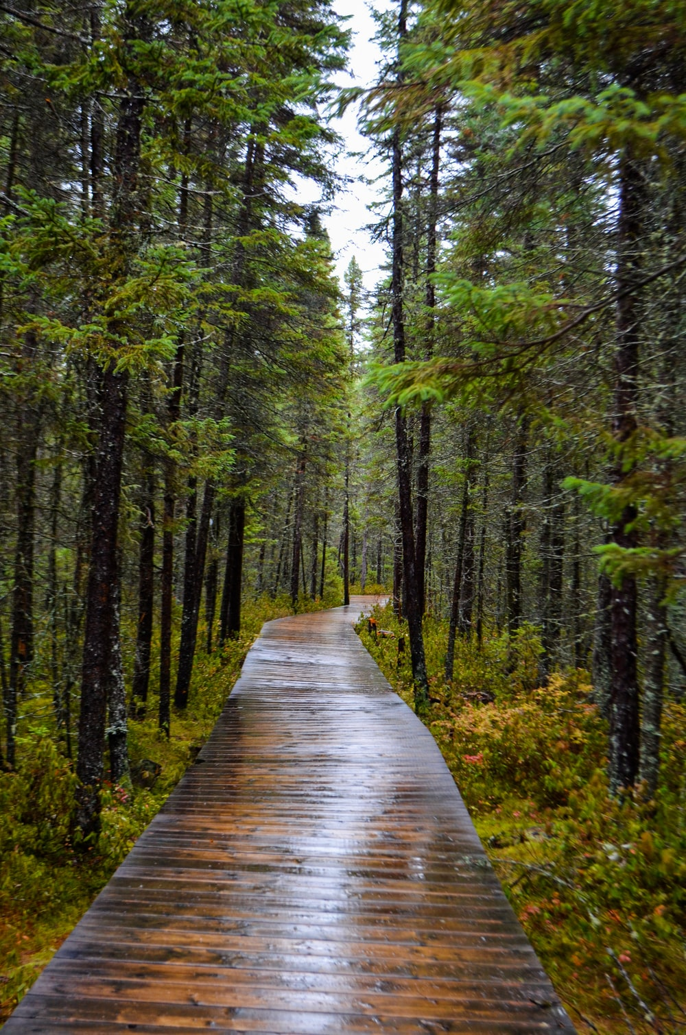 brown wooden pathway surrounded with tall and green trees