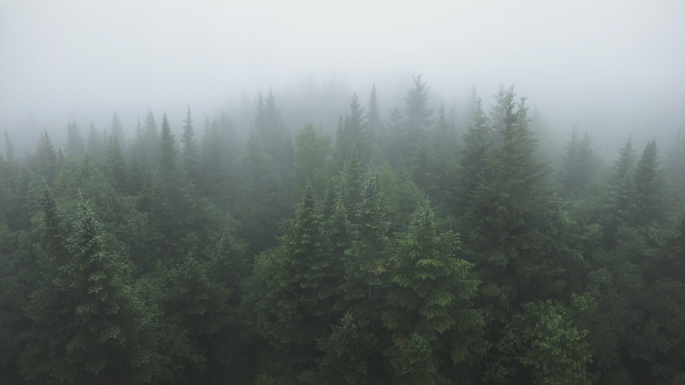 forest with green trees during foggy day