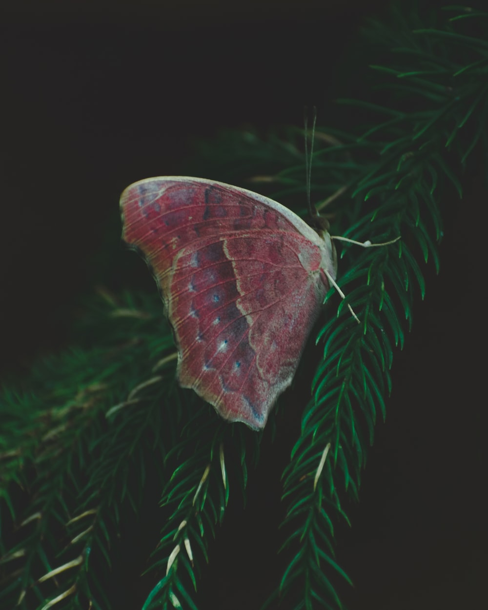 red and brown butterfly on green pine tree