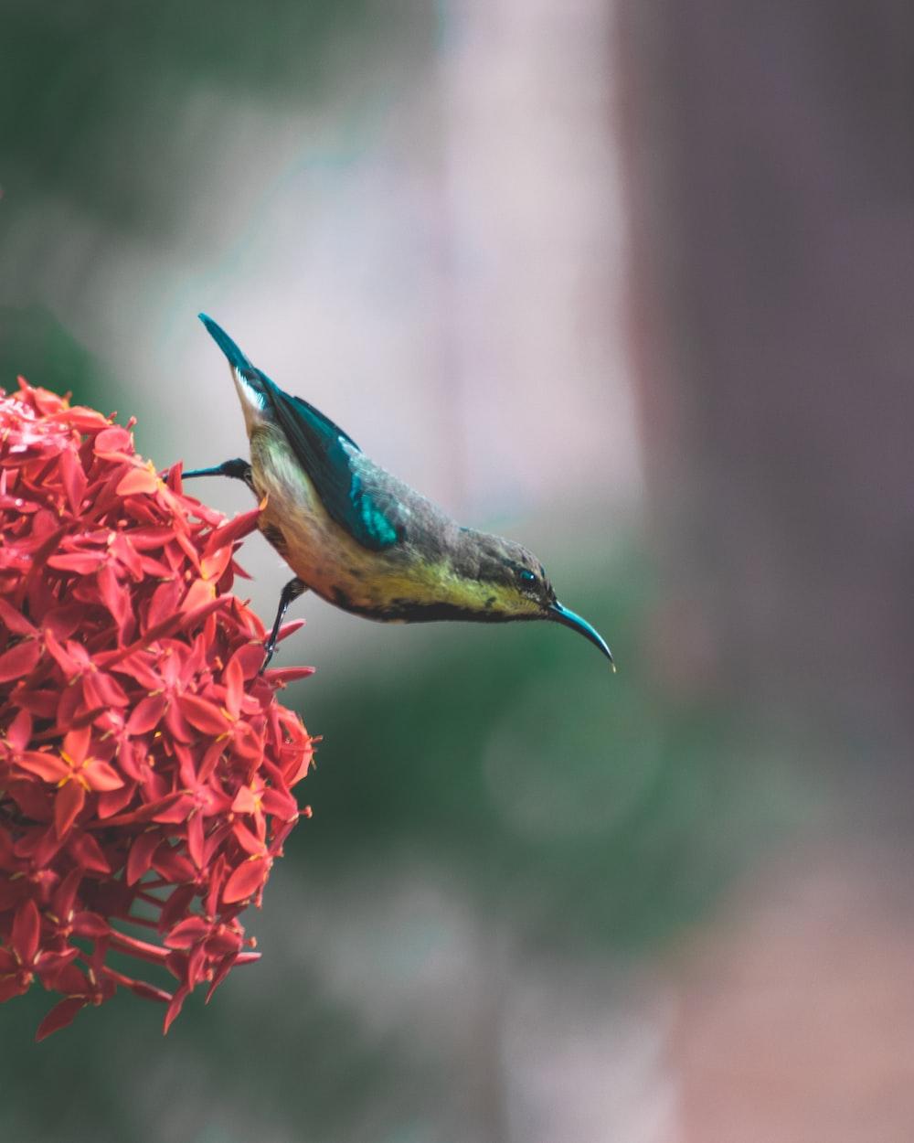 coraciiformes bird on red ixora flower