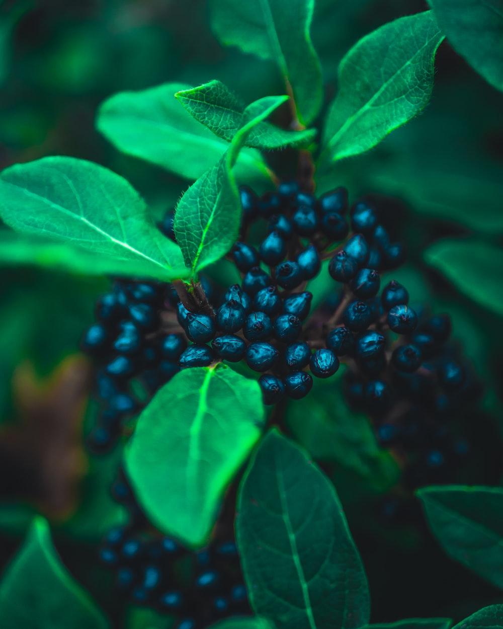 black berries with green leaf