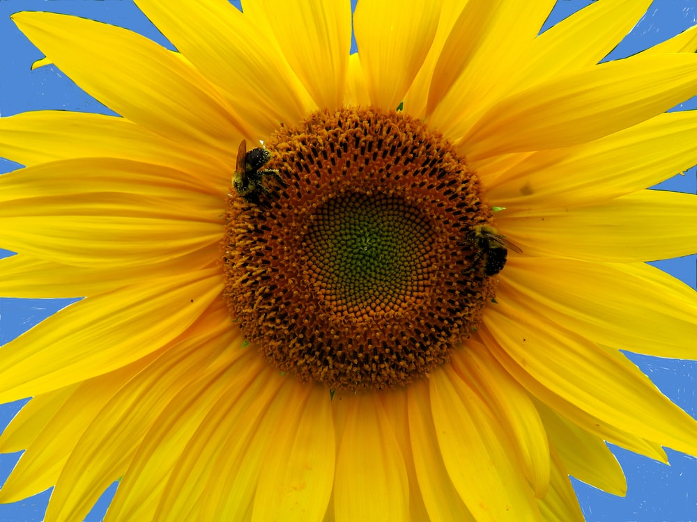 two bees on sunflower