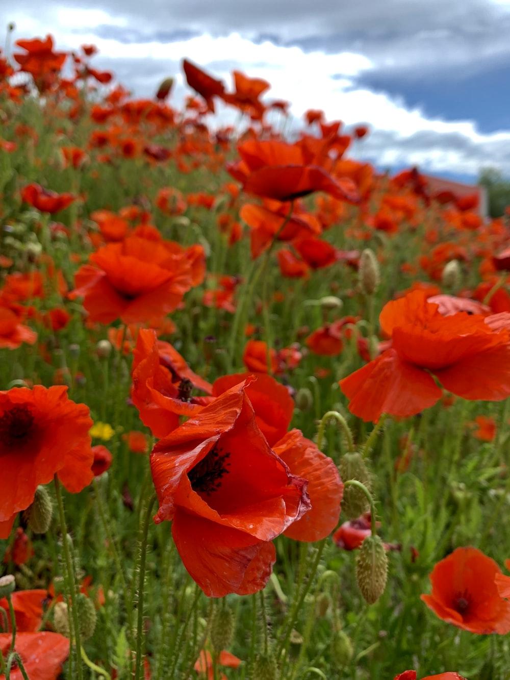 field of red poppy flowers