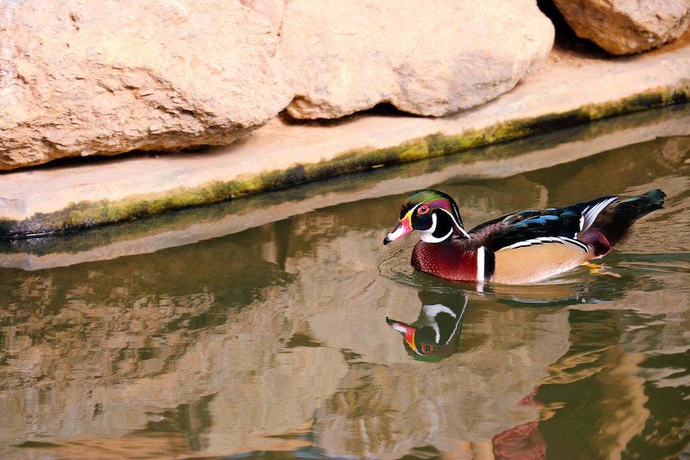 mallard duck on focus photography