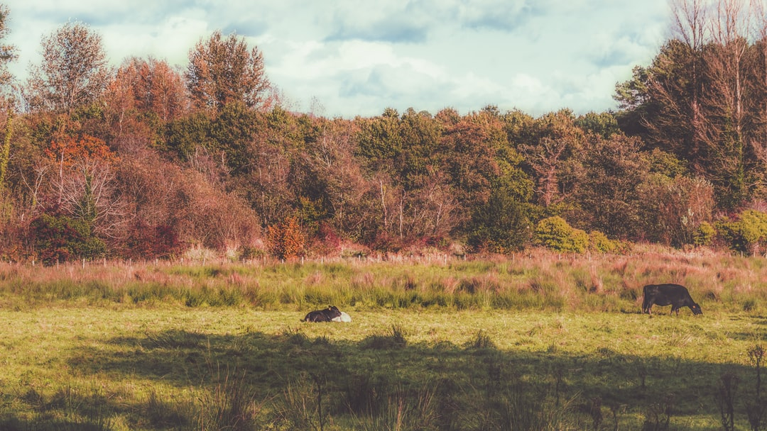 Pastoral scenes at Lagan Meadows as two calves lay in the autumnal sun while the adult cows craze amongst the vibrant autumn colours.