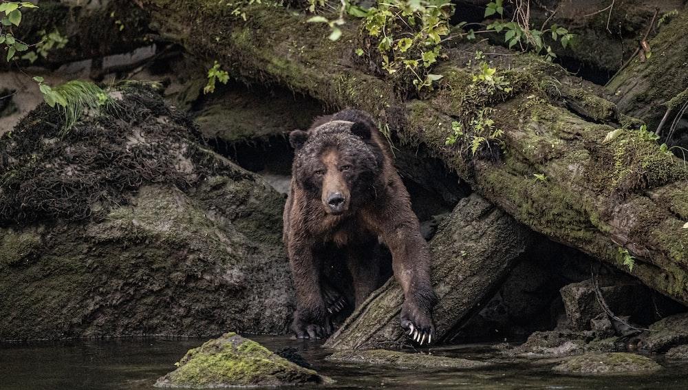 brown bear on rock