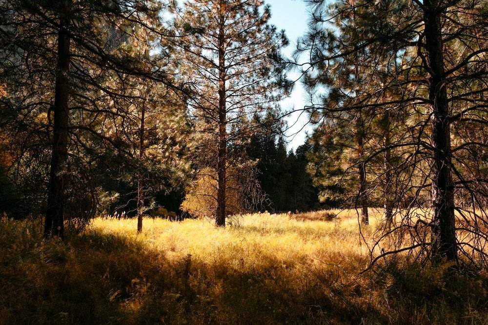 pine tree field