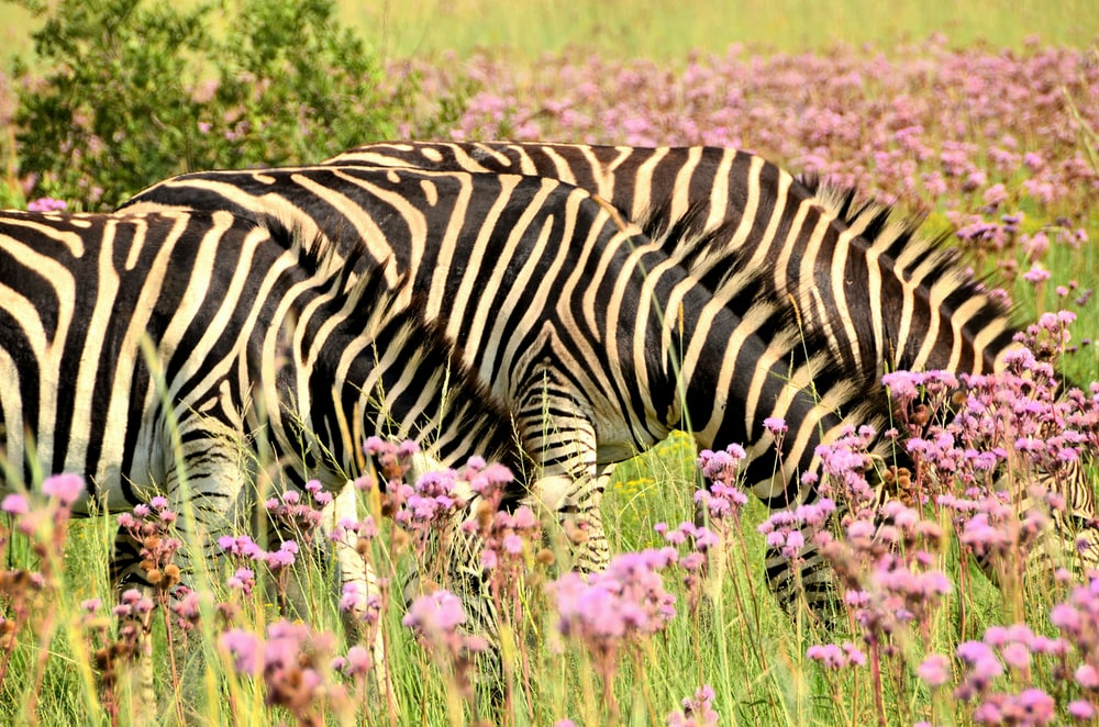 two zebra on pink flower fiekd