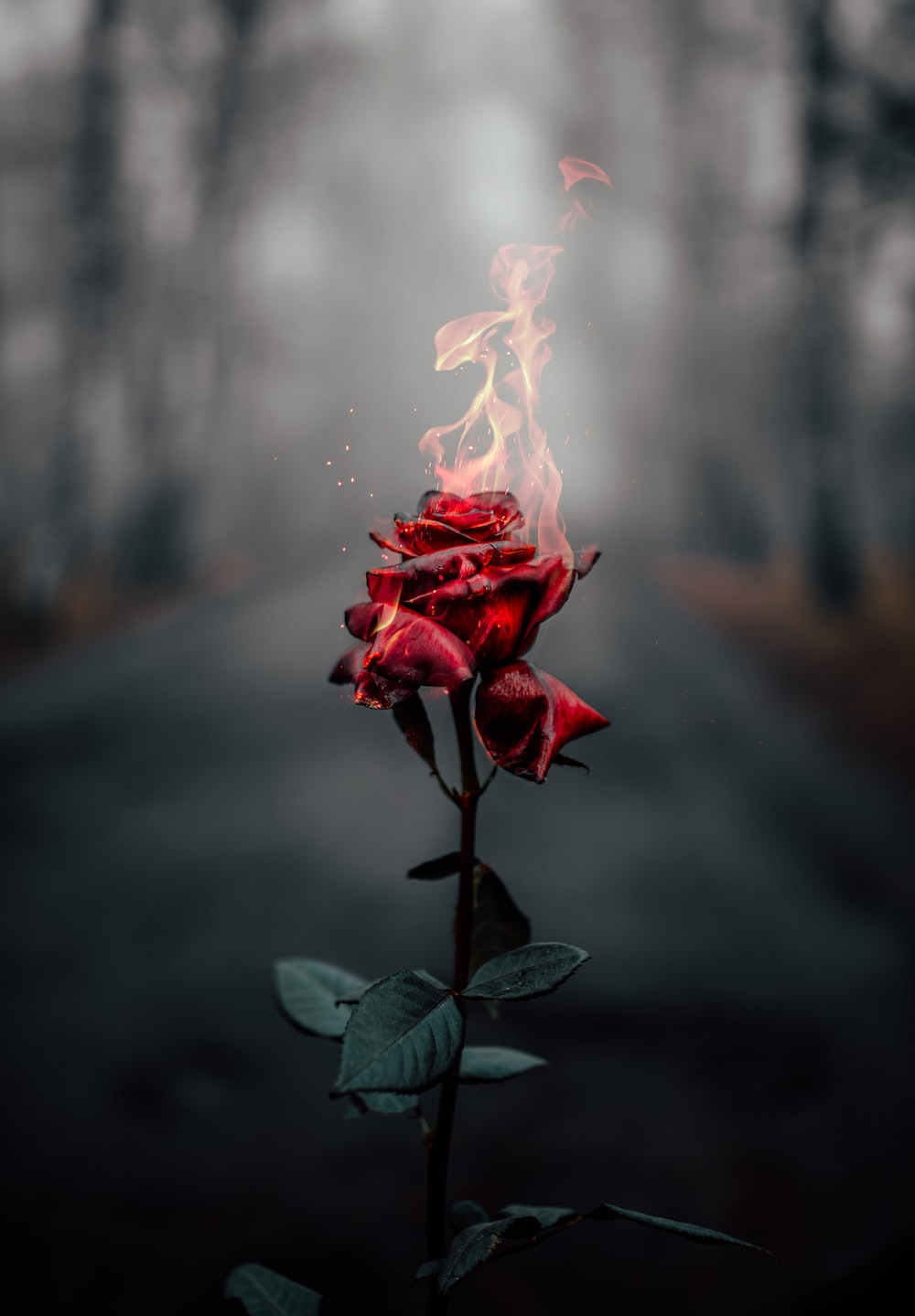 selective focus photography of flaming rose flower during daytime