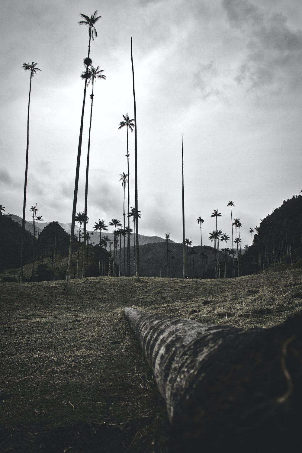 lined coconut trees during daytime