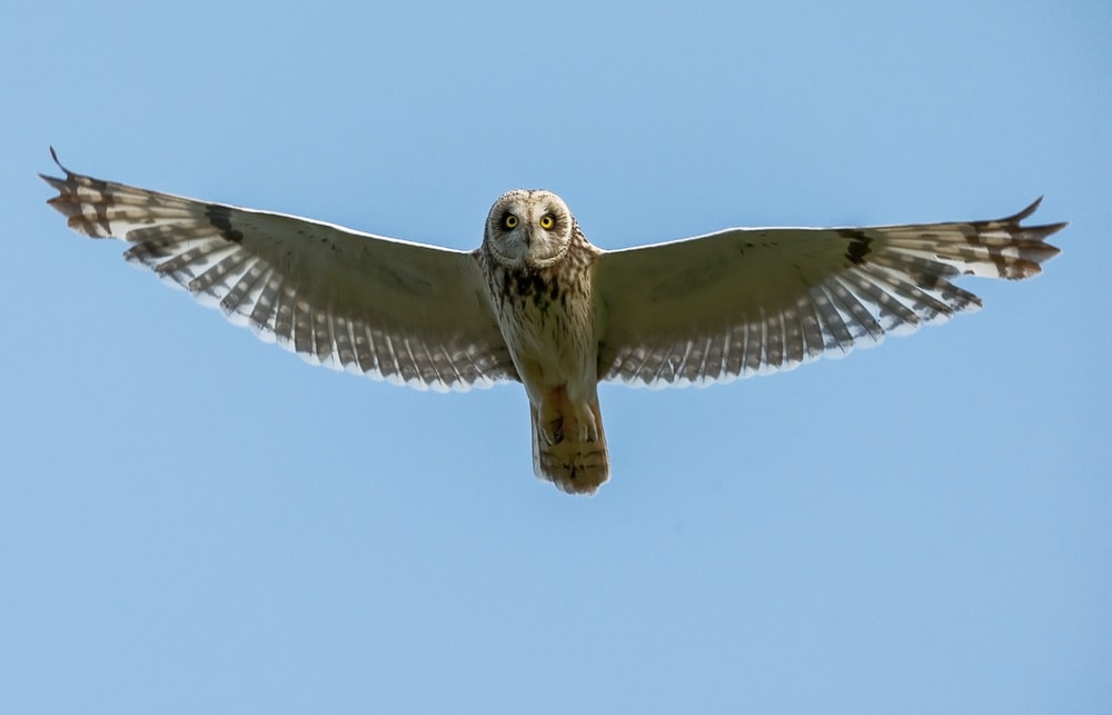 on-flight white and brown owl