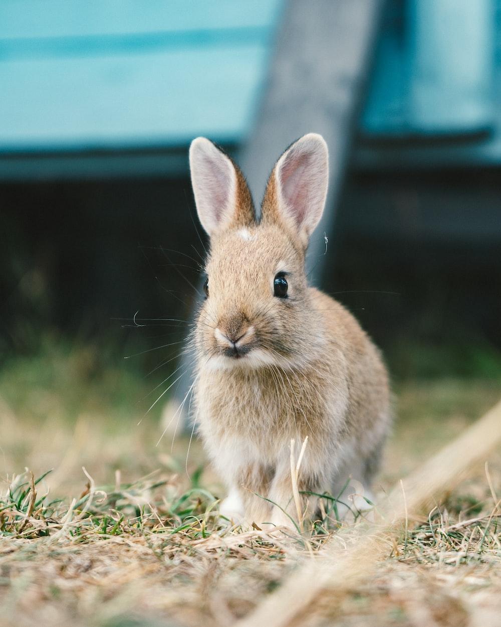 brown rabbit on grass