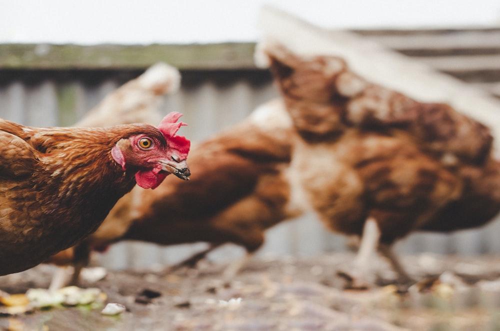 selective-focus photograph of brown hen