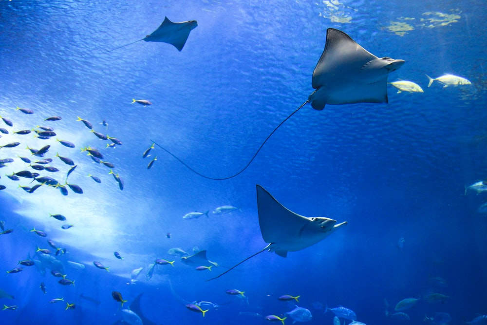 grey stingrays underwater photography