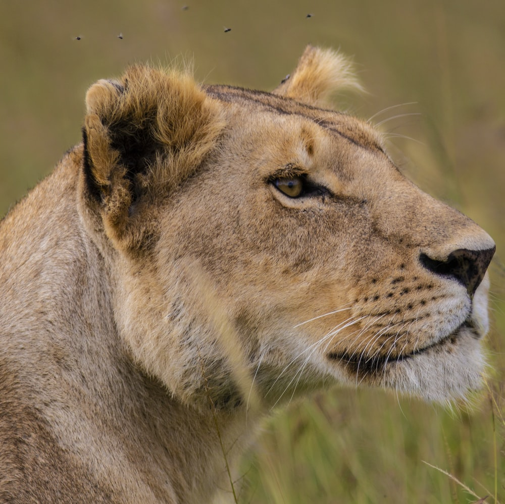 selective focus photography of lioness during daytime