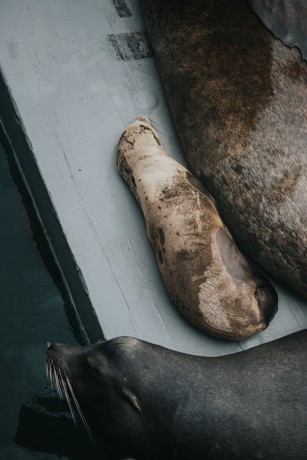 brown and white sea lion