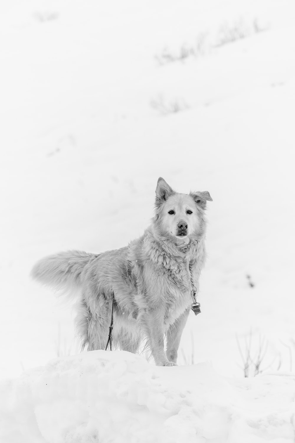 long-coated gray dog standing in snow