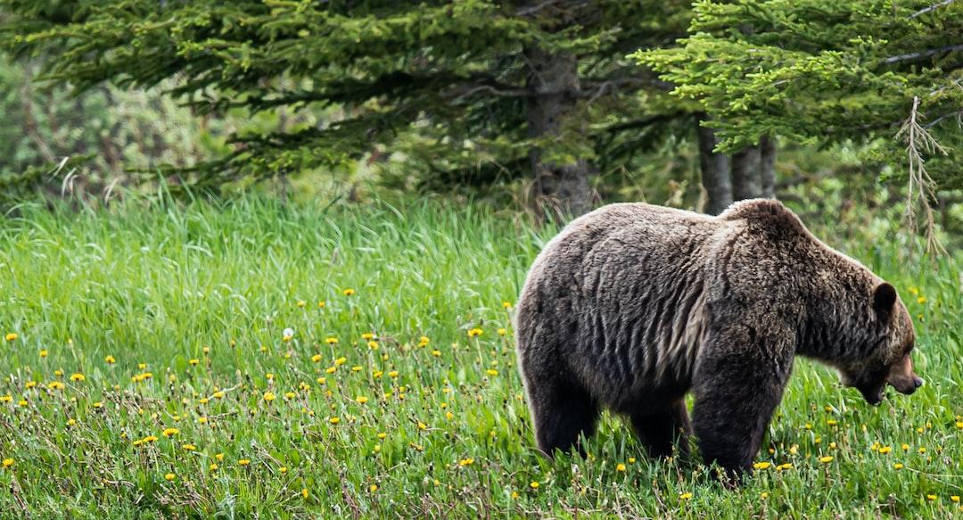 Grizzly Bear in lush green open fields