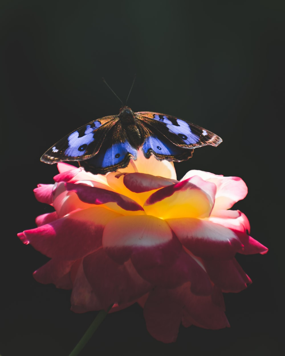 blue and black butterfly perched on flower