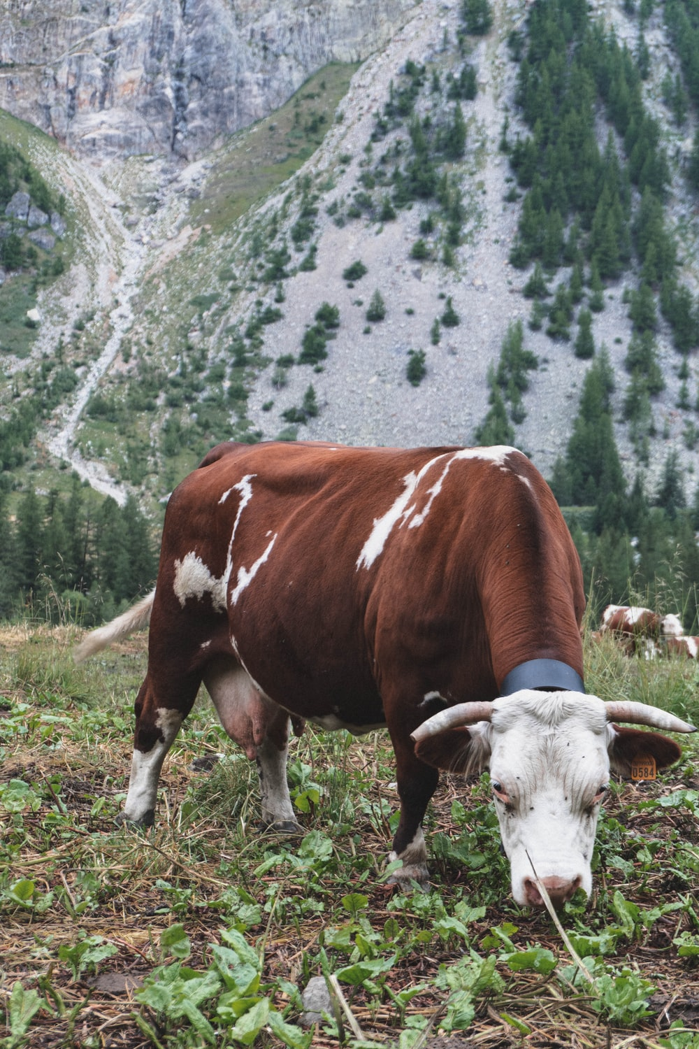 brown and white cow on field near mountain