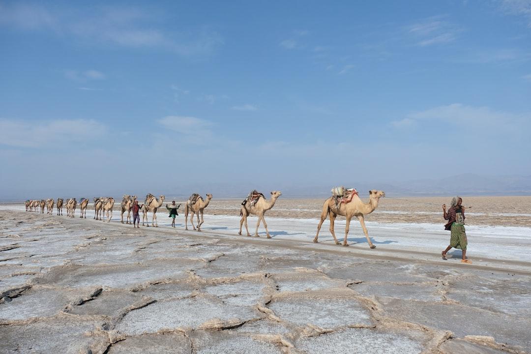 Ethiopia - Camels carry salt in Dancalia