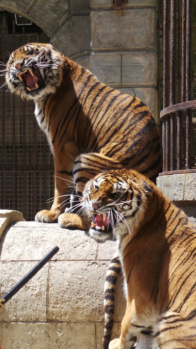 two orange and black tigers
