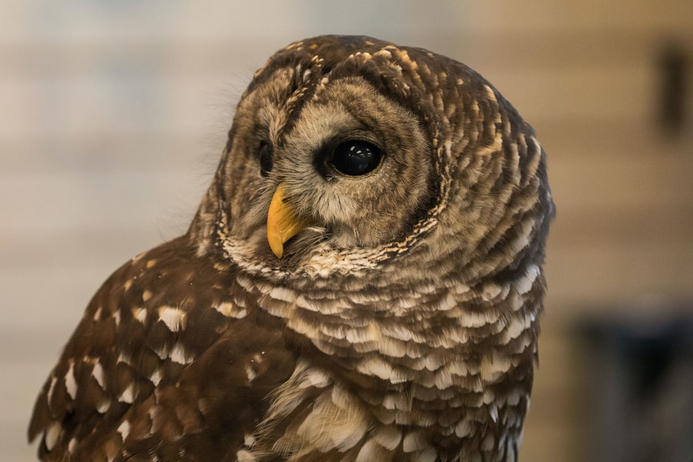 photo of brown and gray owl